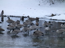 Canada Geese wintering