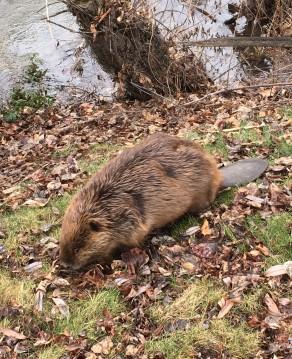 beavercloseup